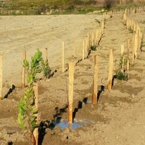Une plantation de haies entre les vignes