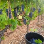 Dans la sceau, les raisins pour la Méridienne et sur la vigne, les grappes pour le Paradoxe Rouge qui prendront plus de soleil dans les 3 prochaines semaines