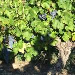 Vigne de Cabernet-Sauvignon