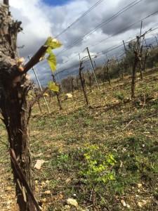 bourgeons chardonnay-1 bis