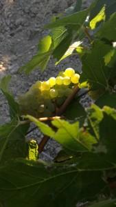 Premiers raisins