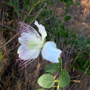 Dernières fleurs de capriers
