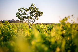 Vignoble de l'Arjolle